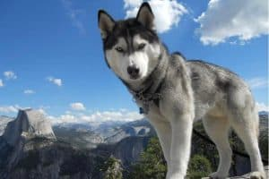 best dogs for hiking - Husky