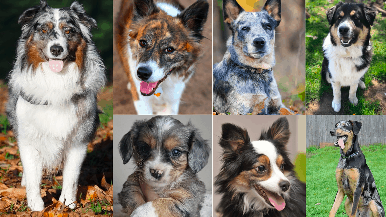 Australian Shepherd Mixes