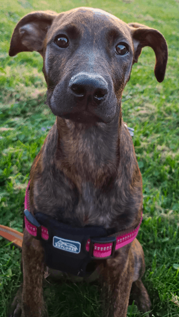 Boxer Doberman Mix (Boxerman)