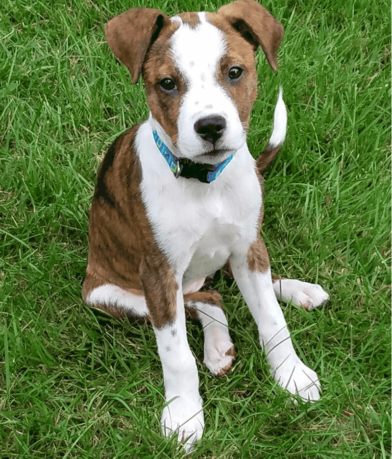Boxer Fox Terrier Mix