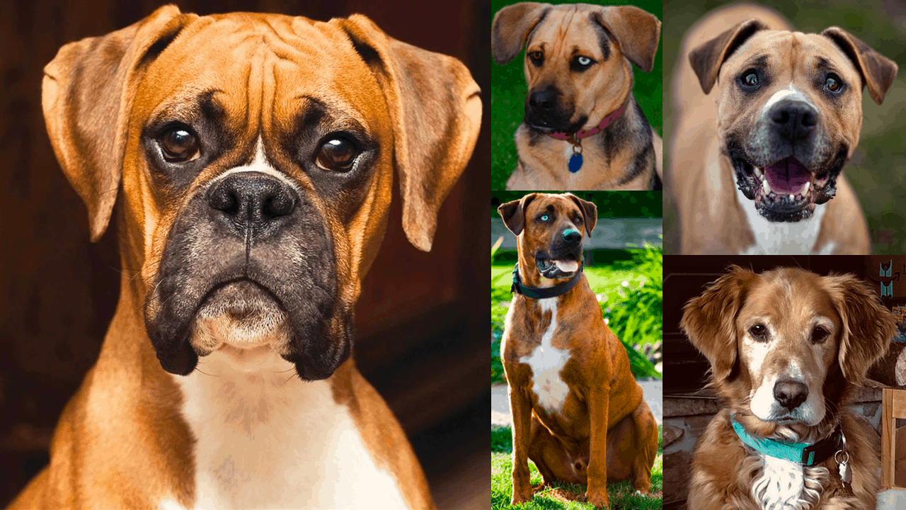 best boxer mixes