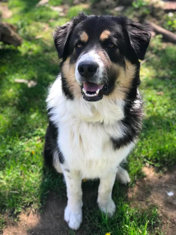 australian shepherd great pyrenees mix