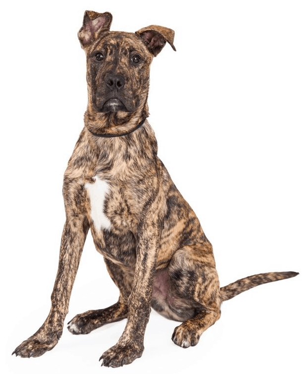 boxer great dane mix