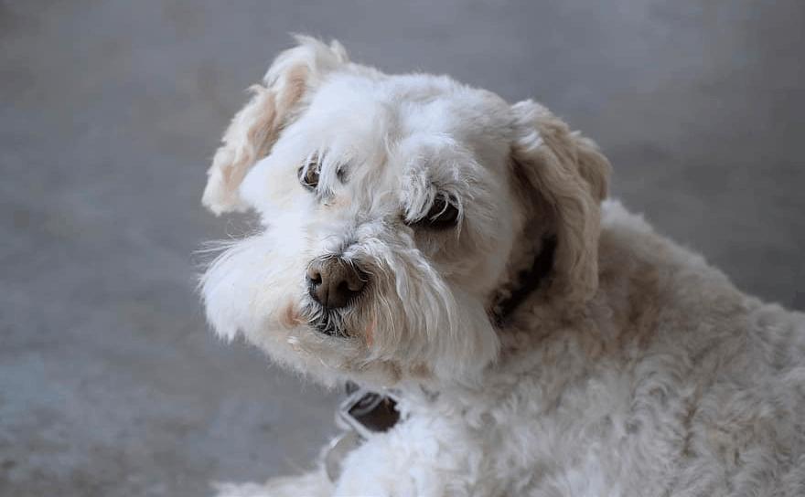 Boxer Poodle Mix