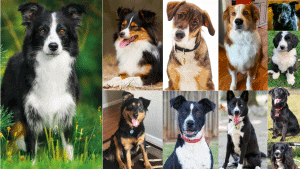 Best border collie mixes
