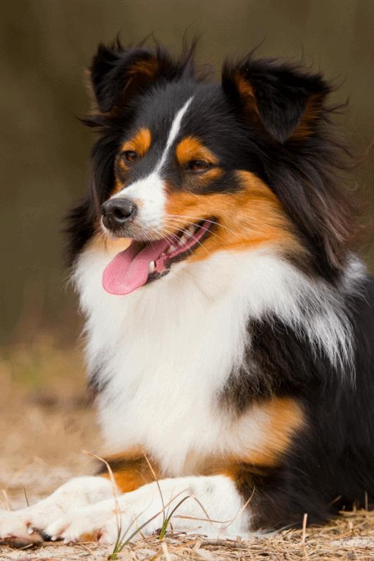Border Sheepdog