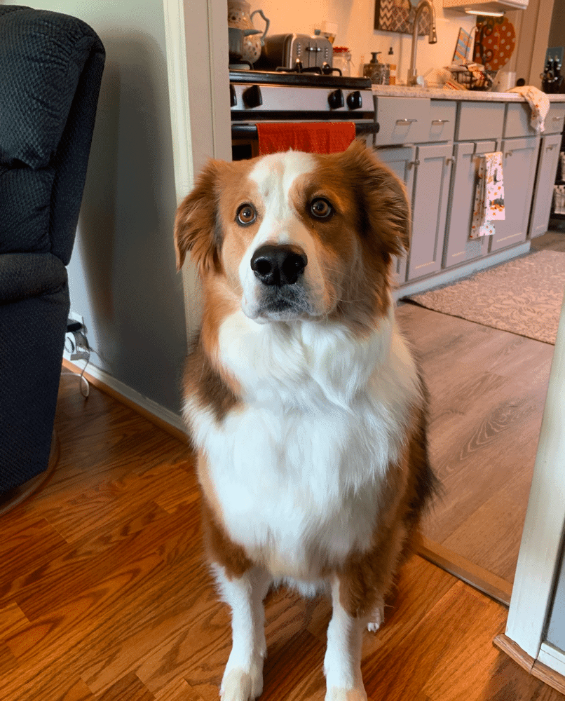 Border Collie Bernese Mountain Dog Mix