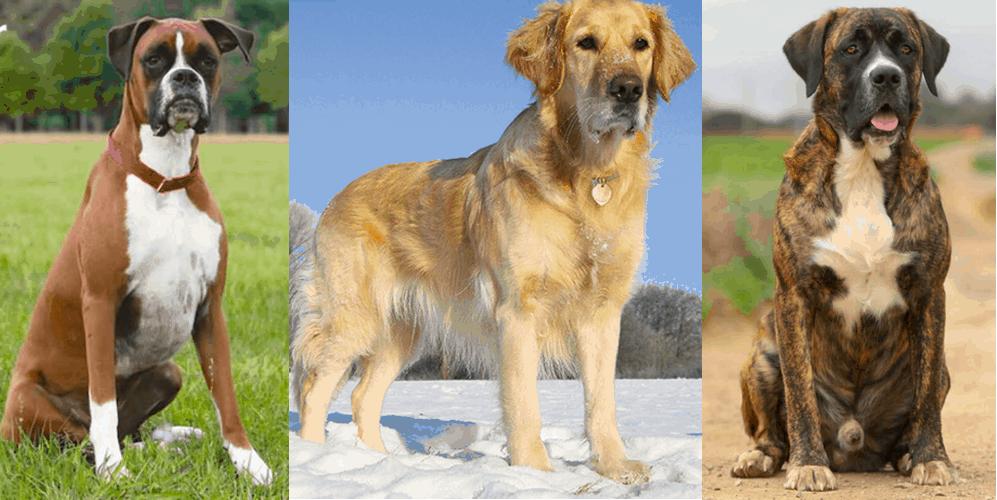 Boxer and Labrador Retriever Mix