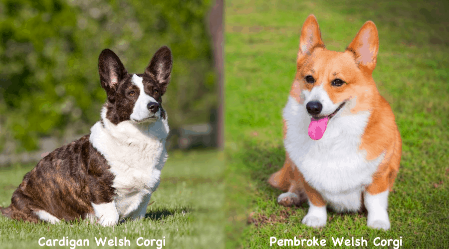 Corgi Dog Breed