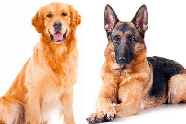 German Shepherd and Golden Retriever