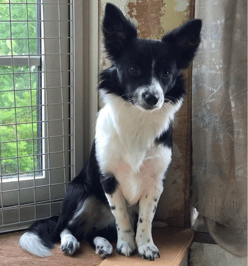 border collie chihuahua mix