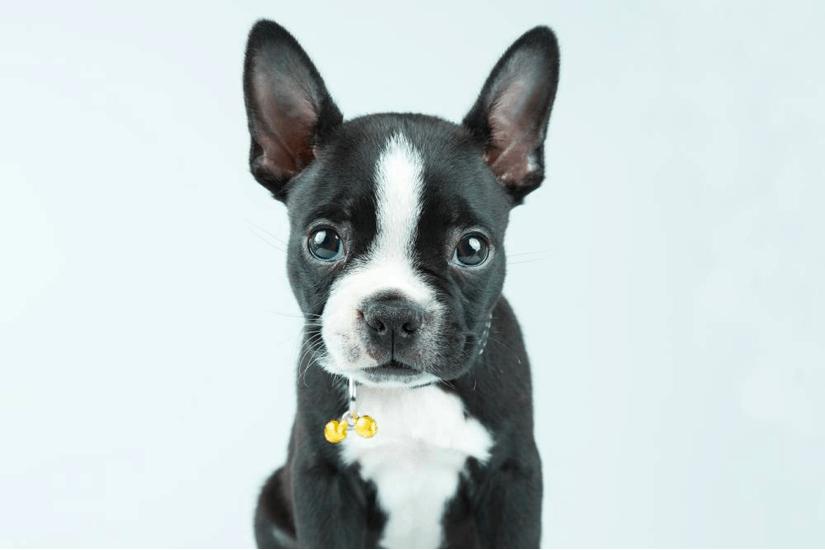 boston terrier chihuahua mix