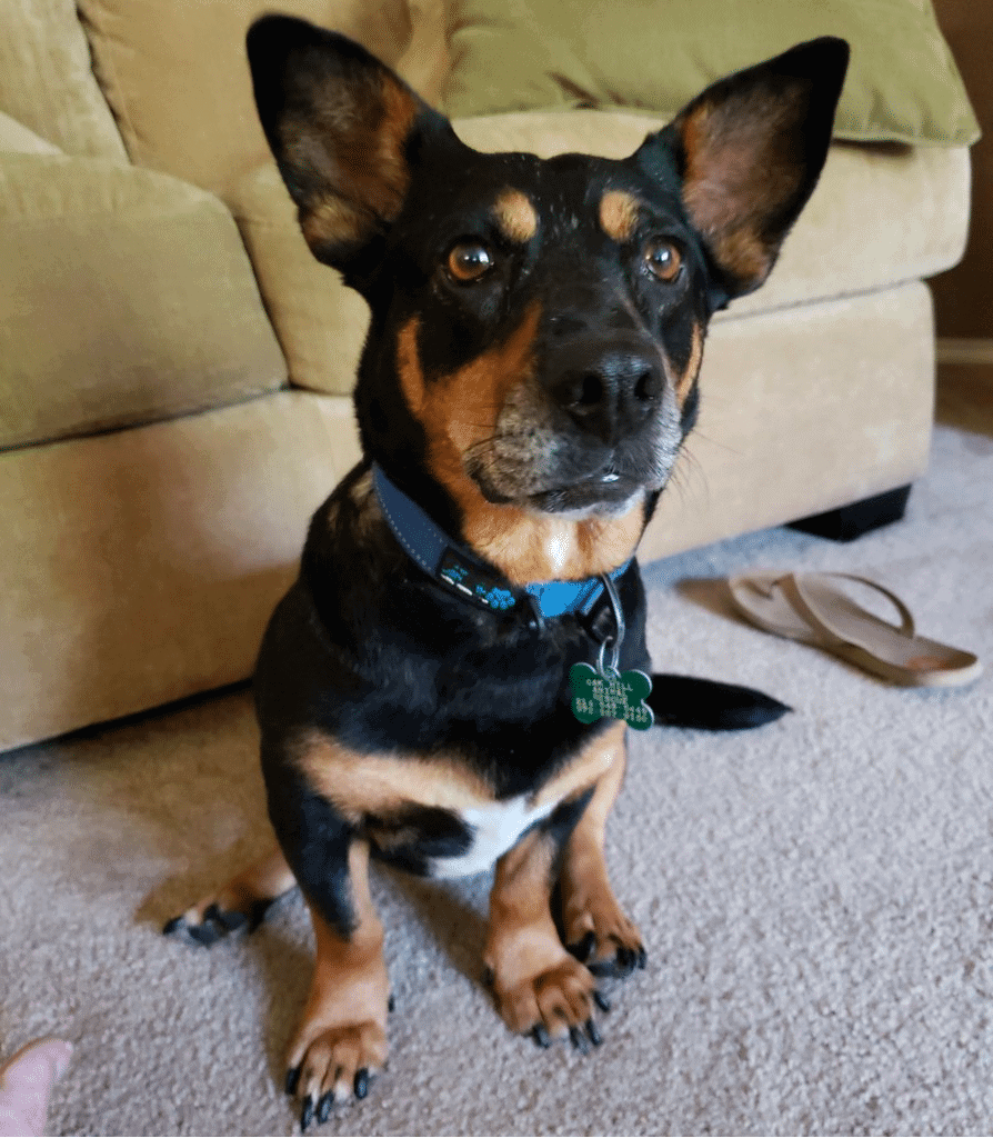 doberman corgi mix