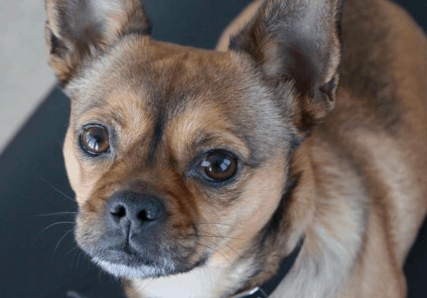 french bulldog chihuahua mix