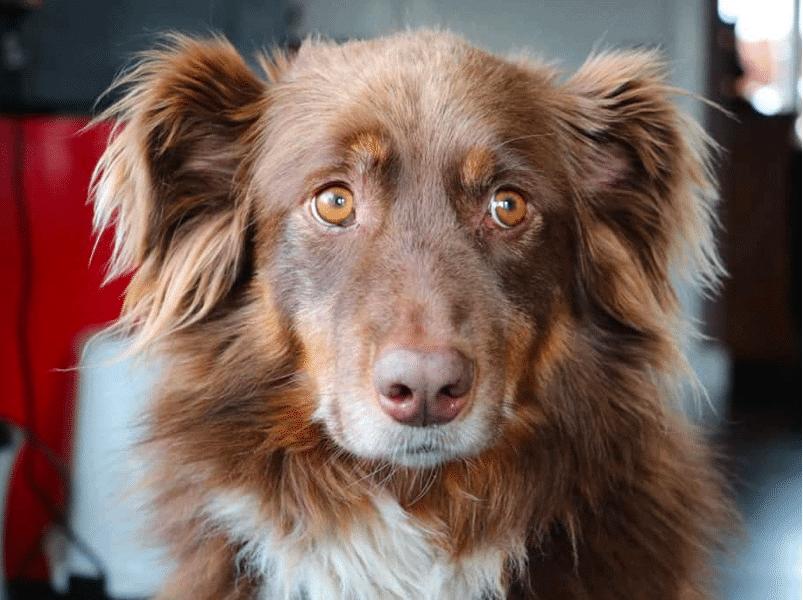 golden retriever australian shepherd mix