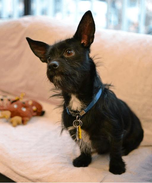 scottish terrier chihuahua mix