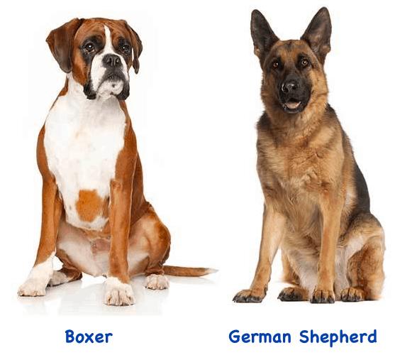 German Shepherd Boxer Mix