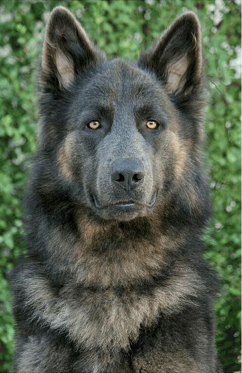 Lycan Shepherd Puppy