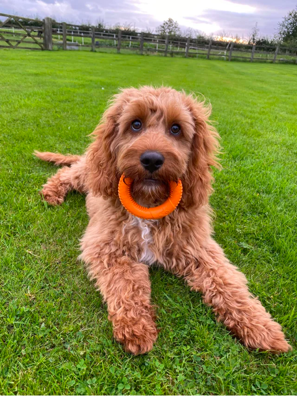 How Much Exercise is Needed for the Cavapoo