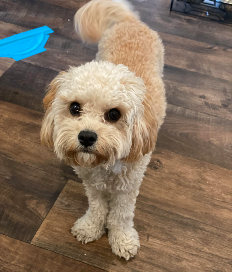 King Charles Cavalier Poodle Mix